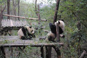 pandas 300x201 - Don't Mind if I Cheng-Du! Insider Tips on Teaching English in Sichuan, China