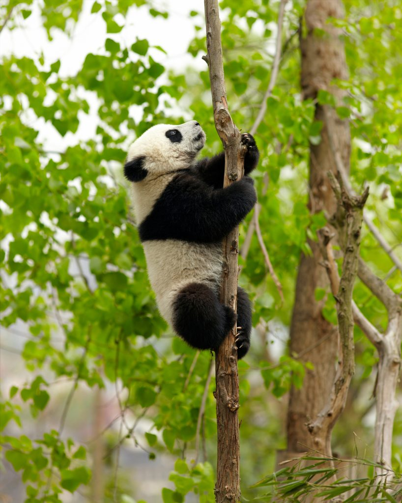 Panda.