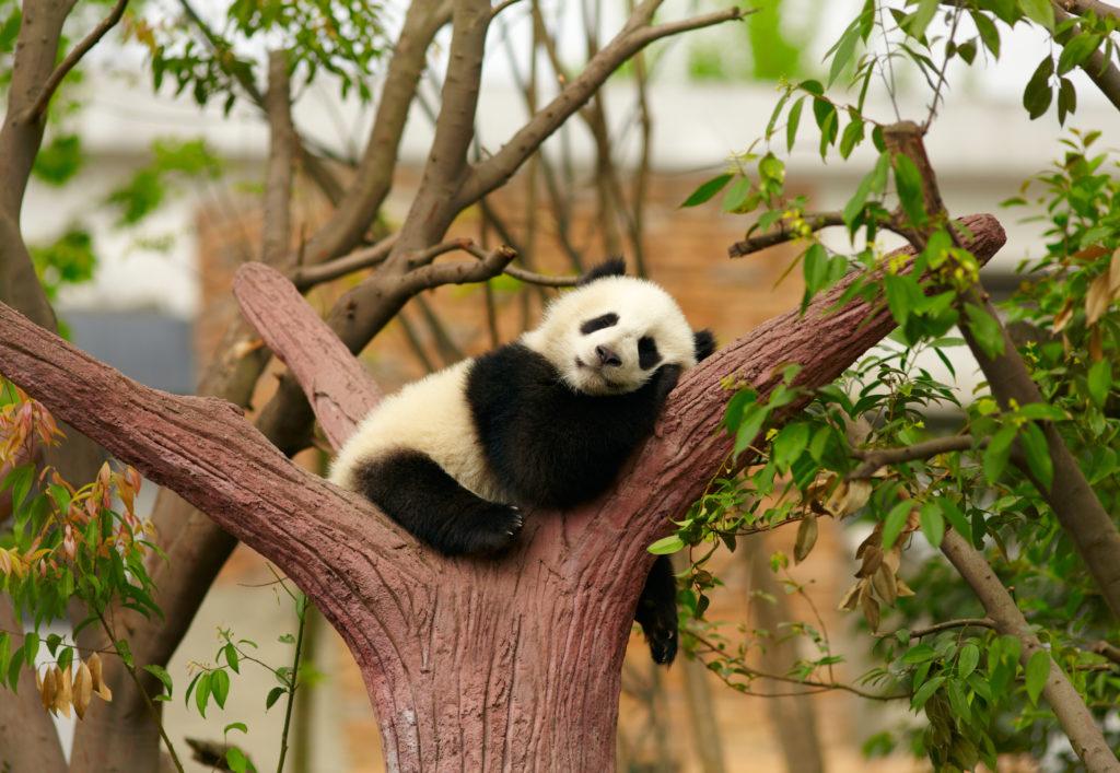 Panda resting on a tree