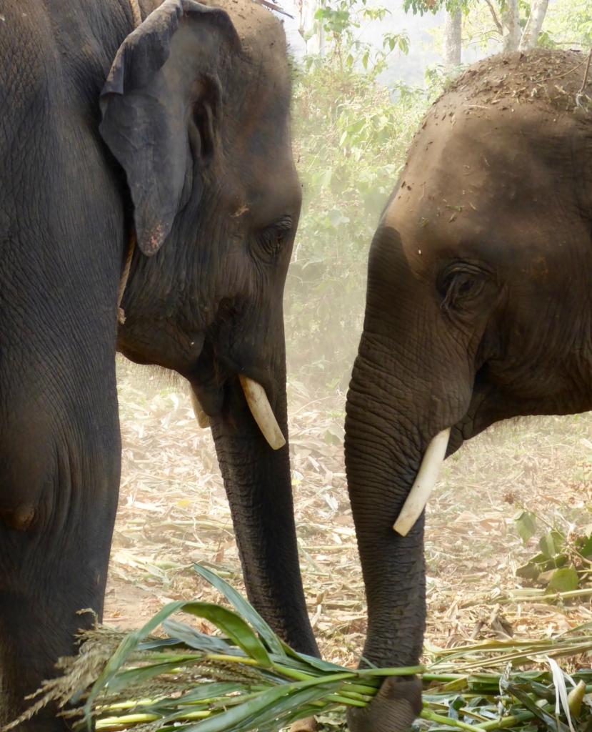 elephants 829x1024 - Insider Tips on TEFL in Thailand